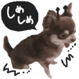 chihuahua is name choco black