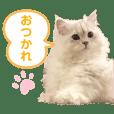 ペルシャ猫のベル