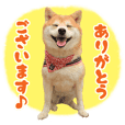 Shibainu Kinako(Frequently used words)
