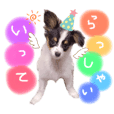 パピヨン犬の夢ちゃん