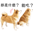 Shiba Hajis friends and their daily life