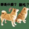 柴犬大叔-哈吉の柴柴朋友們!