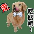 Handsome gold single dachshund!!
