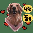 dachshund GaGa -11