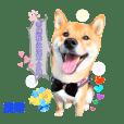 柴盟Aa8-柴犬日常①