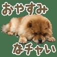"Chowchow dog ""Chataro"" of photo"