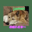 柴犬ジェームス~ちょと丁寧