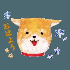 松本市的柴犬阿富
