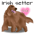 Irish setter Chris