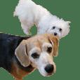 ビーグル犬シルクとマルチーズのユノ