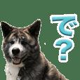 akitadog-shuma Sticker2