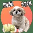 Shih Tzu Lulu daily life-1 living habits