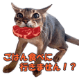 KARIMO'S KITTY ABYSSINIAN 2