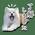 Akita dog Donbe kun vol.2