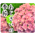 A floral message! Hydrangea (Honorific)