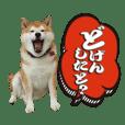 バリ使える博多弁と柴犬!By yankunmam
