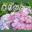 A floral message! Hydrangea Part2