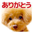 sora toy poodle Sticker 4