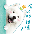 Samoyed daily
