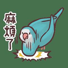 和尚鸚鵡「米酒」的快樂鳥日常