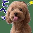 トイプードルのモコちゃん【実写版5】犬