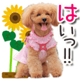 toy poodle LUCK10<summer>