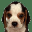 I am Beagle