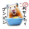 hamster usual 4
