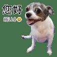 Pet Life-Chihuahua ZiZi