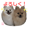 Pomeranian Leo and max15 Family sticker