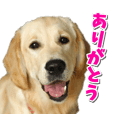Golden Retriever Sticker Usable everyday