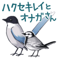 White wagtail and Azure-winged Magpie