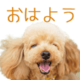 Toy Poodle's Charles sticker