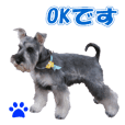 Schnauzers photos and Japanese 2