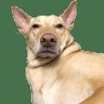 Taiwan COCO dog