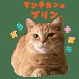 Munchkincat Purin