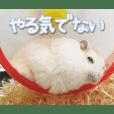 Hamster -Hachimitsu & Daifuku- Photo