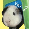 Guinea pig Days Ver.2