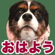 【キャバリア 総太郎 日常スタンプ】