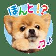 Pomeranian Mofuta 2