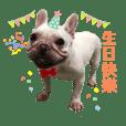 法國鬥牛犬—張波妞日常