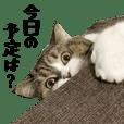 "Cat's ""Mamesuke"" Daily use"