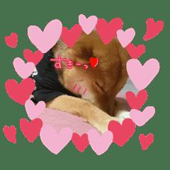 柴犬Part1