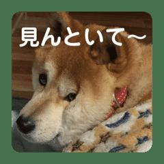 ちょいデブ柴犬マメが代弁
