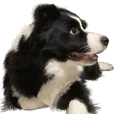 Border collie Money Third episode