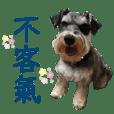 大頭雪納瑞-LuLu (2)