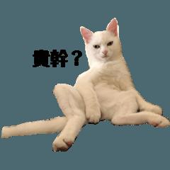 DIDI異色瞳白貓