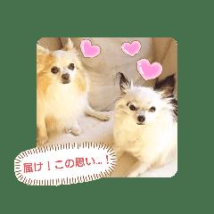愛犬チワワのスローディズ2・七五三付き