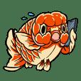 金魚蘭壽先生的日常