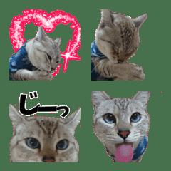 blue eye cat